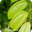 Cinnamon Leaf - Essential Oil