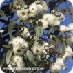 Eucalyptus Blue Gum - Essential Oil