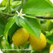 Lemon Cold Pressed (Italy) - Essential Oil