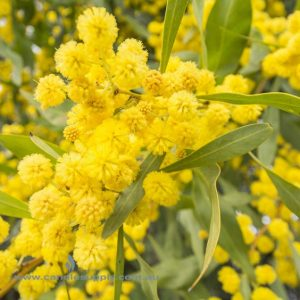 Australian Wattle - Fragrance Oil