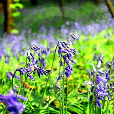 Wild Bluebell - Fragrance Oil